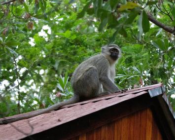 Vervet-Monkey-Foundation